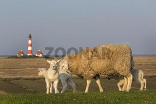 Leuchtturm und Schafe, Westerheversand, Westerhever, Eiderstedt, Nordfriesland, Schleswig-Holstein, Deutschland, Europa