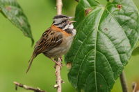singing rufous-colored sparrow