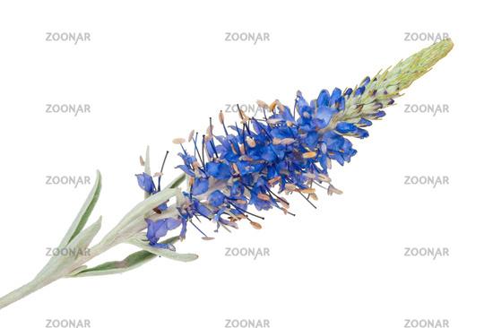 Medicinal plant: Veronica incana
