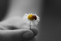 Ladybug on a daisy