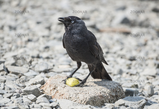 Jackdaw perched on a rock with a piece of fruit