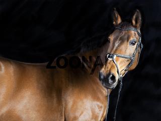 braunes Oldenburger Pferd