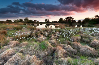 sunset over wild swamp with cottongrass