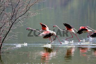 flamingoes walking on water at bogoria