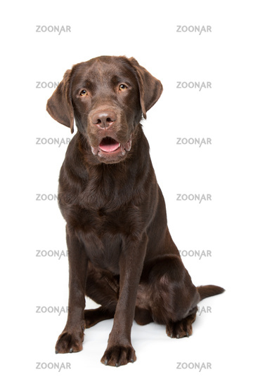 Chocolate Labrador dog