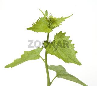 Knoblauchsrauke; Alliaria petiolata