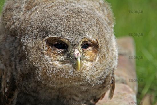 Barn Owl (young)