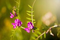 Vicia or Vetch pink flowering in meadow macro