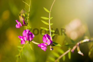 Vicia or Vetch pink flowering in meadow macro