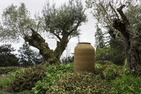 olive trees and old vase in garden