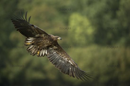 wingspan... White-tailed Eagle *Haliaeetus albicilla*