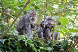 Family of monkeys with babies in Ubud Sacred Monkey Forest