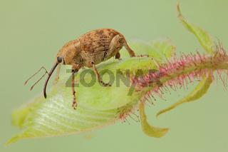 Haselnussbohrer (Curculio nucum)