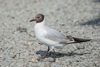 Juvenile Black Headed Gull