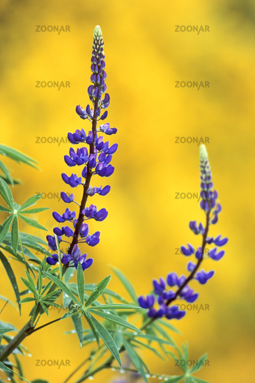 Large-leaved Lupin arrived in Britain in the 1820s