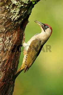 Grünspechtweibchen am Nest