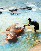 Bathing of elephant