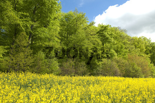 Buchenwald, Wald, Fruehjahr