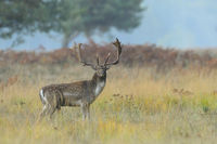 Fallow deer in Autumn, Germany