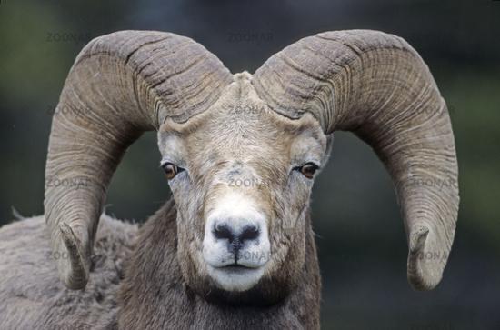 Portrait of a Bighorn Sheep ram