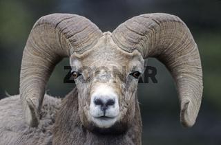 Dickhornschafwidder steht auf einer Wiese - (Rocky-Mountains-Dickhornschaf) / Bighorn Sheep ram standing in a meadow - (Rocky Mountain Bighorn Sheep) / Ovis canadensis - Ovis canadensis (canadensis)