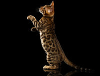 Bengal Kitty Stands and Raising Up Paws on Black