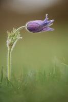 Common pasque flower ( Dane's blood )