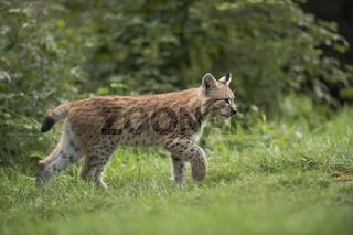 auf der Pirsch... Eurasischer Luchs *Lynx lynx*