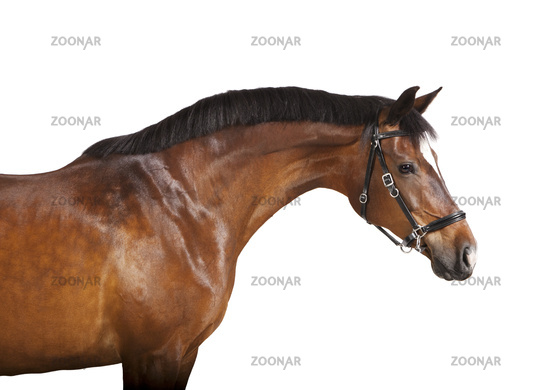 isolated brown horse head