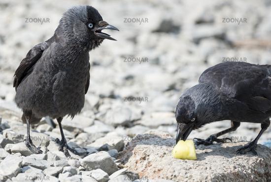 Two Jackdaw Birds