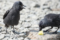 Two Jackdaw Birds