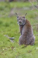 European Lynx, Lynx lynx