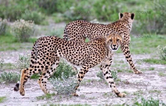 cheetahs at Etosha National Park, Namibia, Acinonyx jubatus