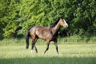 Holsteiner Pferd auf Weide