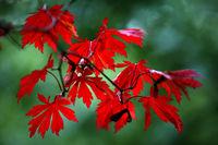 Herbstlaub in rot