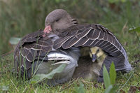 Gray goose, (Anser anser), with chicks in feathering, Hamburg, Germany, Europe