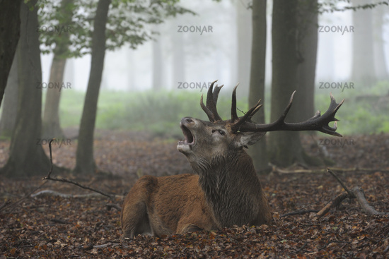 impressive... Red Deer *Cervus elaphus*