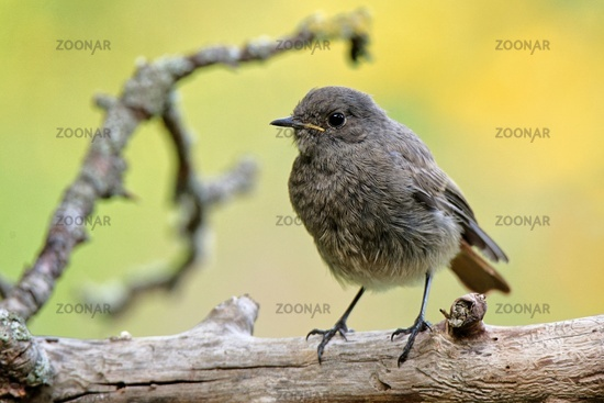 young Common redstart