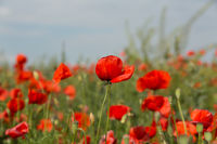 Red poppies against clear sky