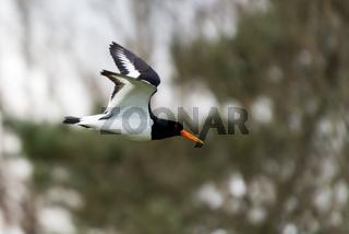Oyster Catcher in flight