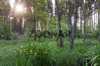 Wald im Juni