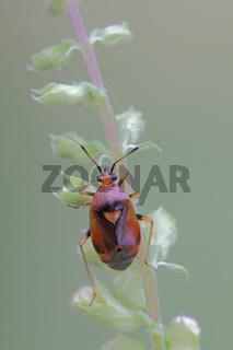Rote Weichwanze (Deraeocoris ruber)