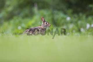 Funny eastern cottontail