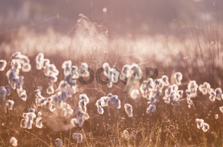 cottograss and spiderweb in morning light