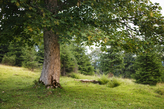 Green summer tree