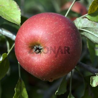 Elstar, Apfel, Malus, domestica,