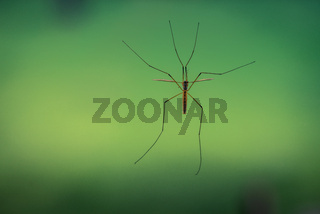 Crane fly on a green background