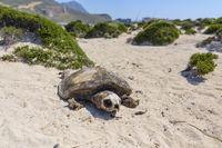 Loggerhead Sea Turtle, Caretta caretta