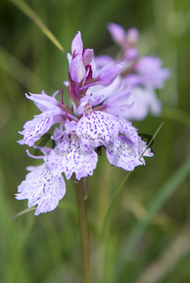 Heath Spotted-orchid - Dactylorhiza maculata
