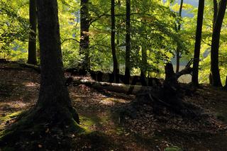 Weltaturerbe Grumsiner Wald, Brandenburg